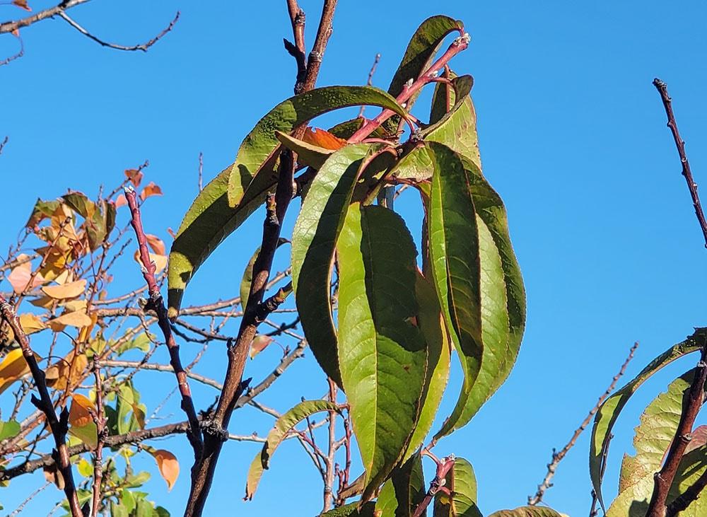 6. do not prune stone fruit in winter