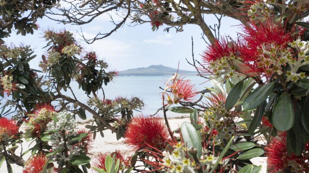 rangitoto island framed by beautiful pohutukawa flowers at takapuna beach